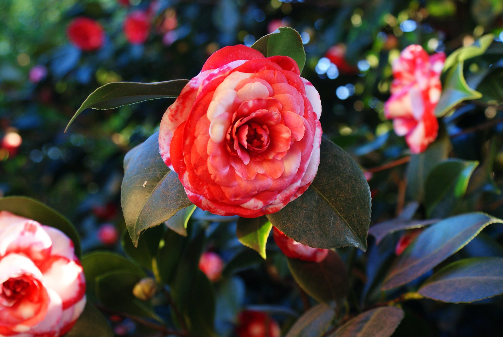 camelia japonica foto photo beautiful