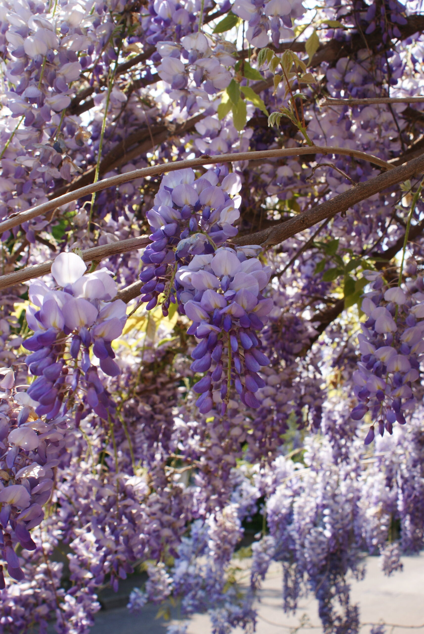 wisteria glicine best photo spring