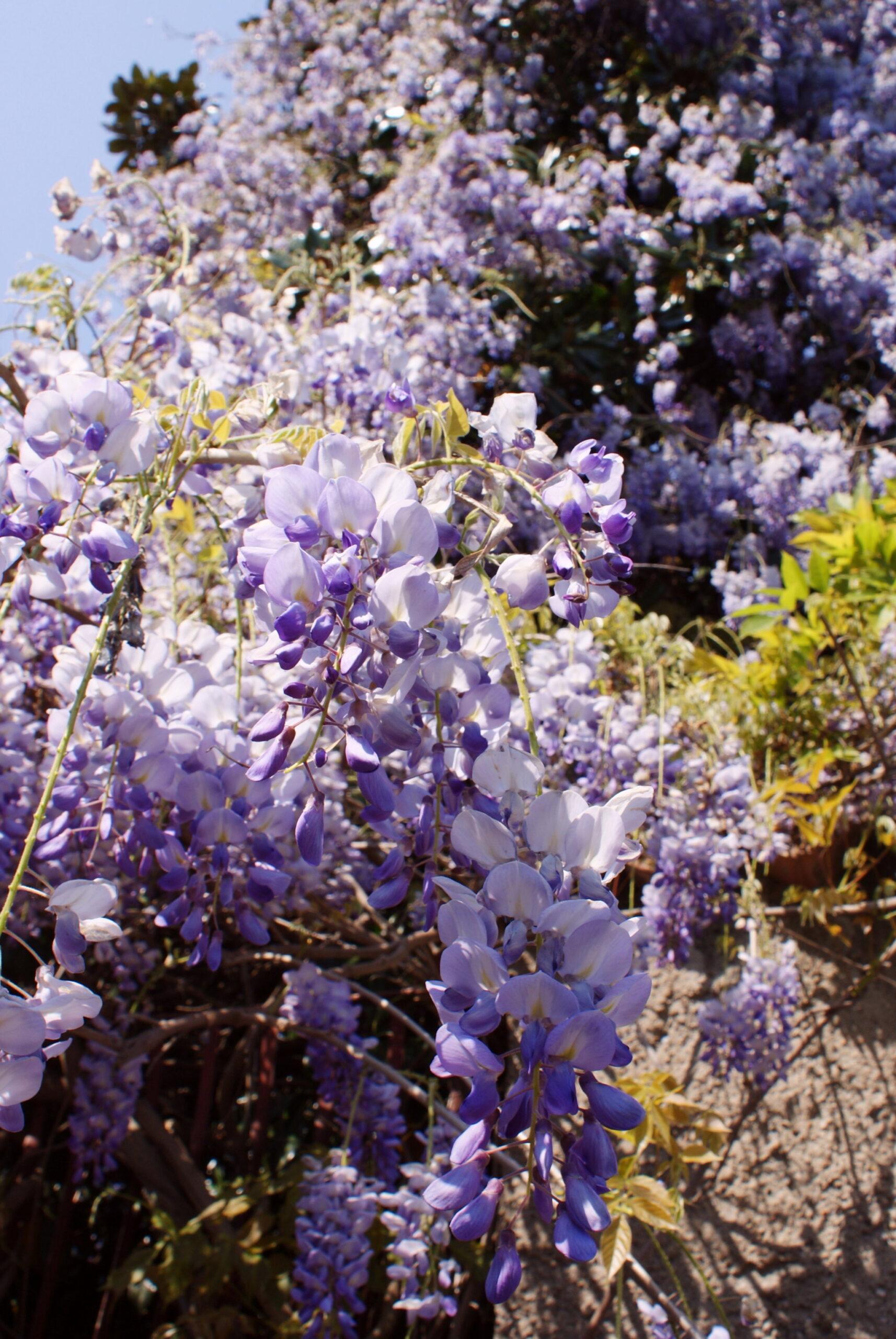 wisteria glicine spring primavera foto photo