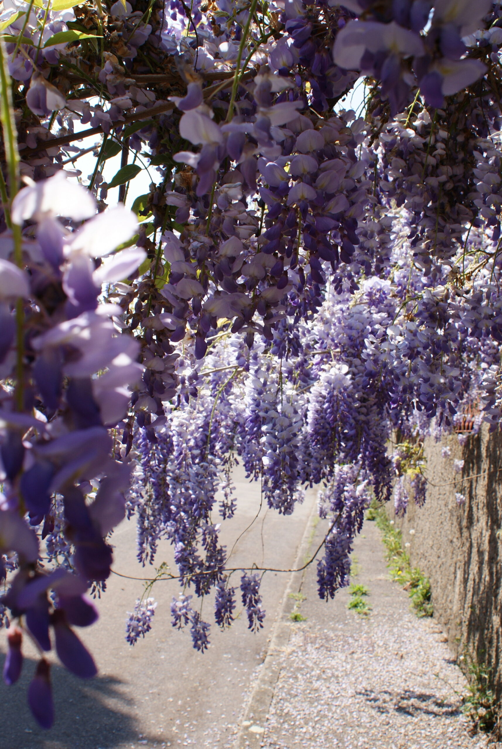 dreamy wisteria photo glicine foto